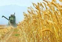 قم در تولید بذر جو، استانی سرآمد در کشور است/برداشت جو از مزارع استان قم آغاز شده است