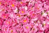 برداشت گل محمدی در قم آغاز شد