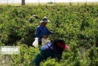 تمام بخشهای کشاورزی قم بدون وقفه فعال است