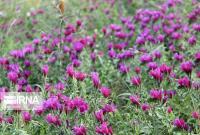 ۸۰ هکتار گونههای متنوع گیاهان دارویی در قم کشت شدهاست