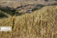 ۲۴ هزار تن گندم درقم تولید خواهد شد